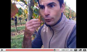 maturité du raisin
