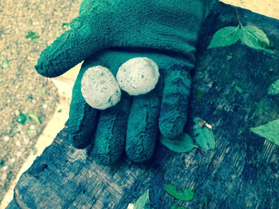 Deux grêlons de la taille d'une balle de ping-pong ont ravagé les vignes.