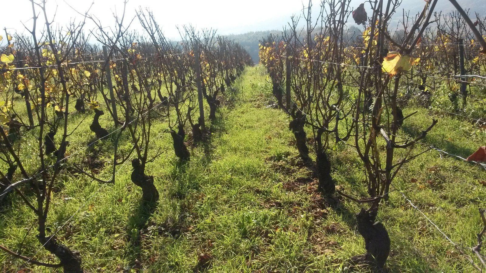 Ses vignes sont parfaitement entretenues, gage de qualité, indéniablement.