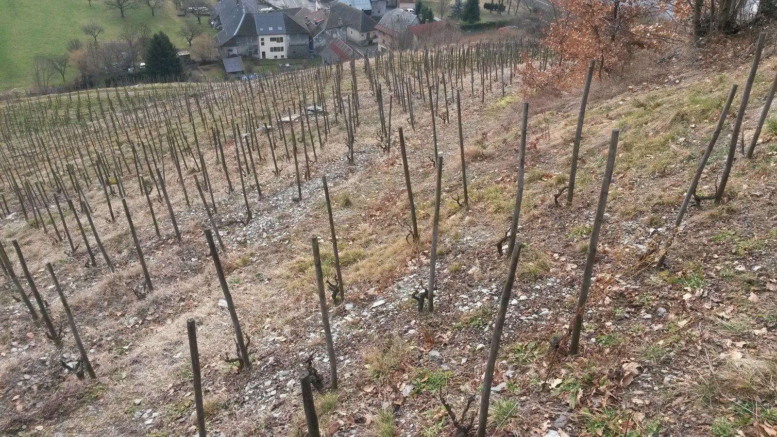 Vignes taillées en gobelet, et sur échalas, afin d'optimiser l'ensoleillement, plutôt faible dans ce coin-là.