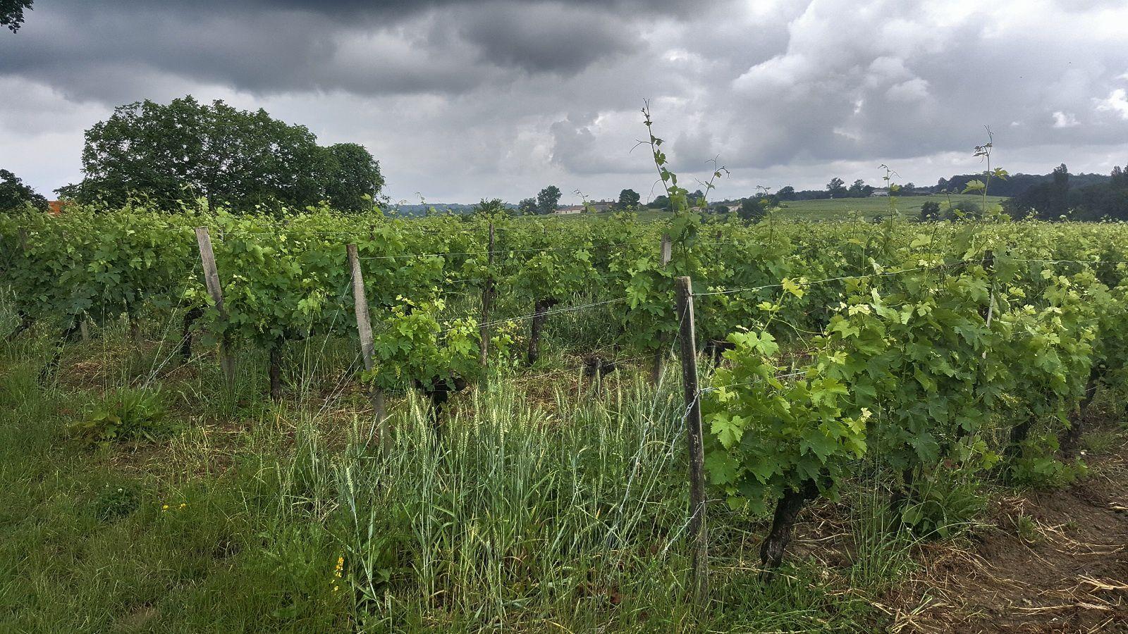 Une vigne parfaitement entretenue par un de ces vignerons engagés dans la voie responsable