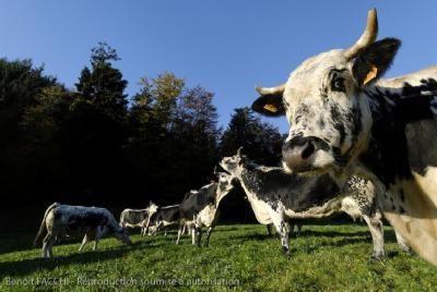 Vaches de la vallée de Munster, en Alsace