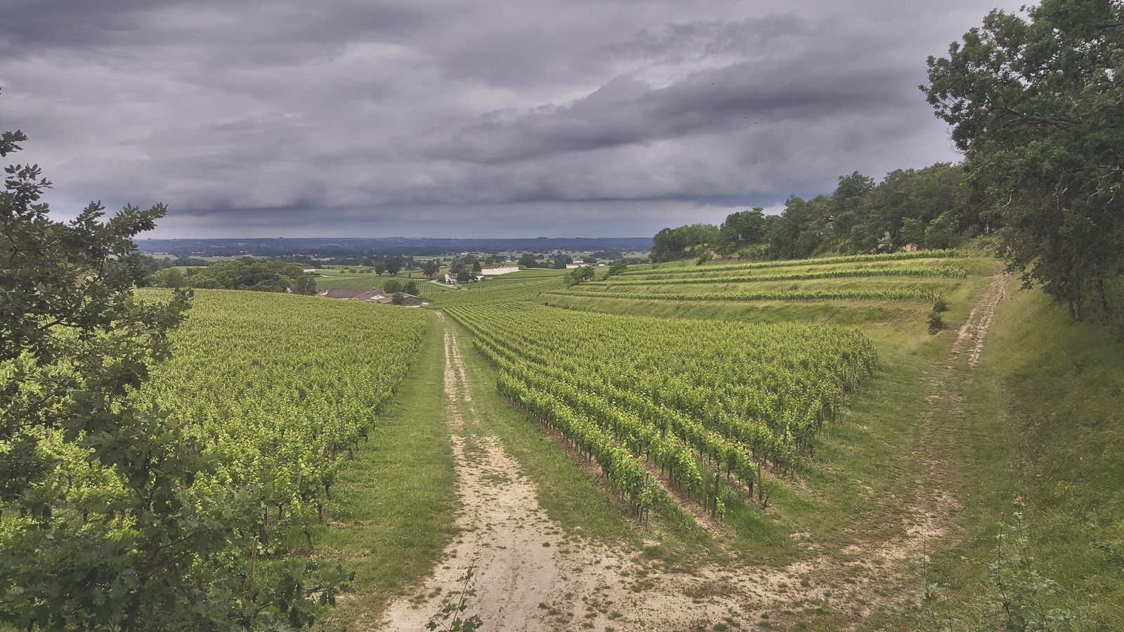 Les vignes du château Mangot en St Emilion