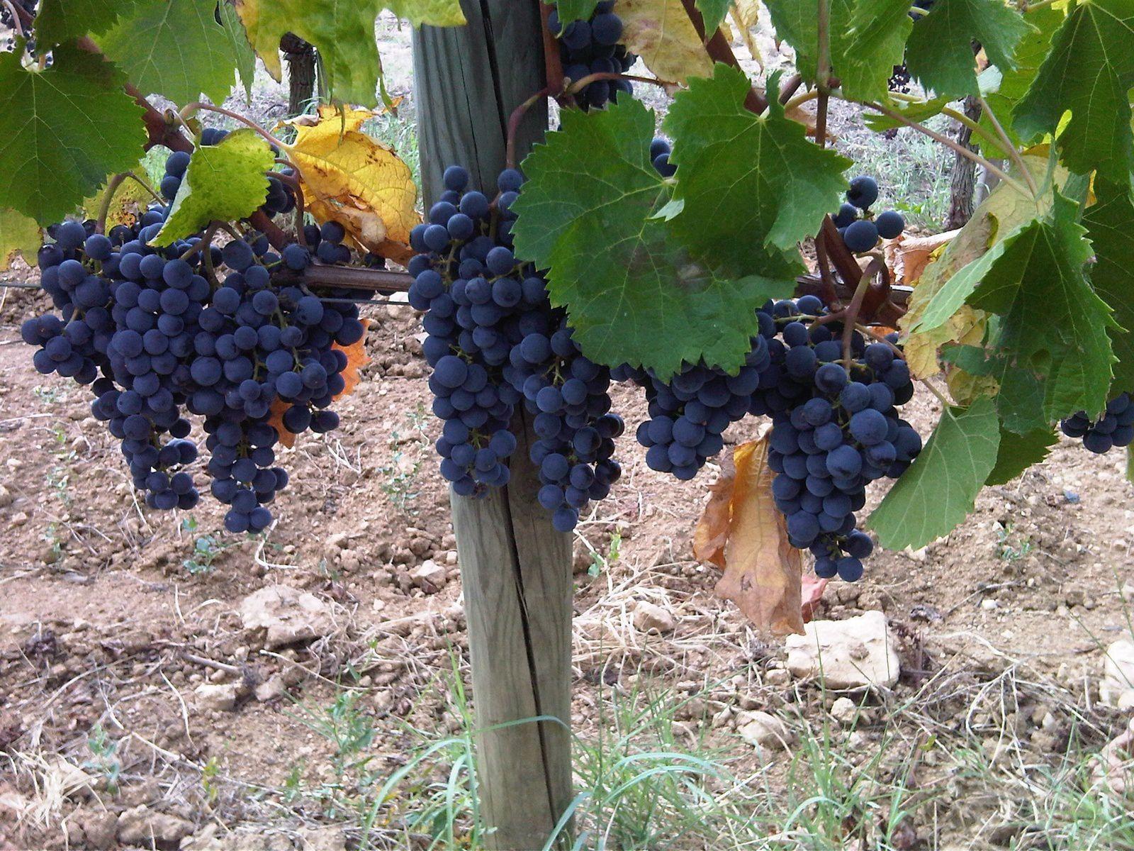 De belles grappes de raisin en Bordelais (Saint Emilion, Château Fonroque)