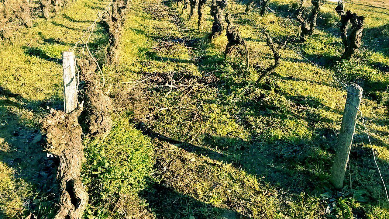 Vignes parfaitement entretenues chez Jo Landron, Muscadet