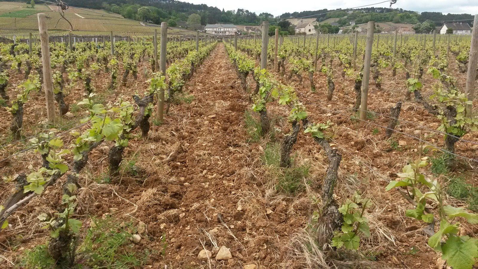Vignes parfaitement entretenues chez Thomas Bouley, à Volnay